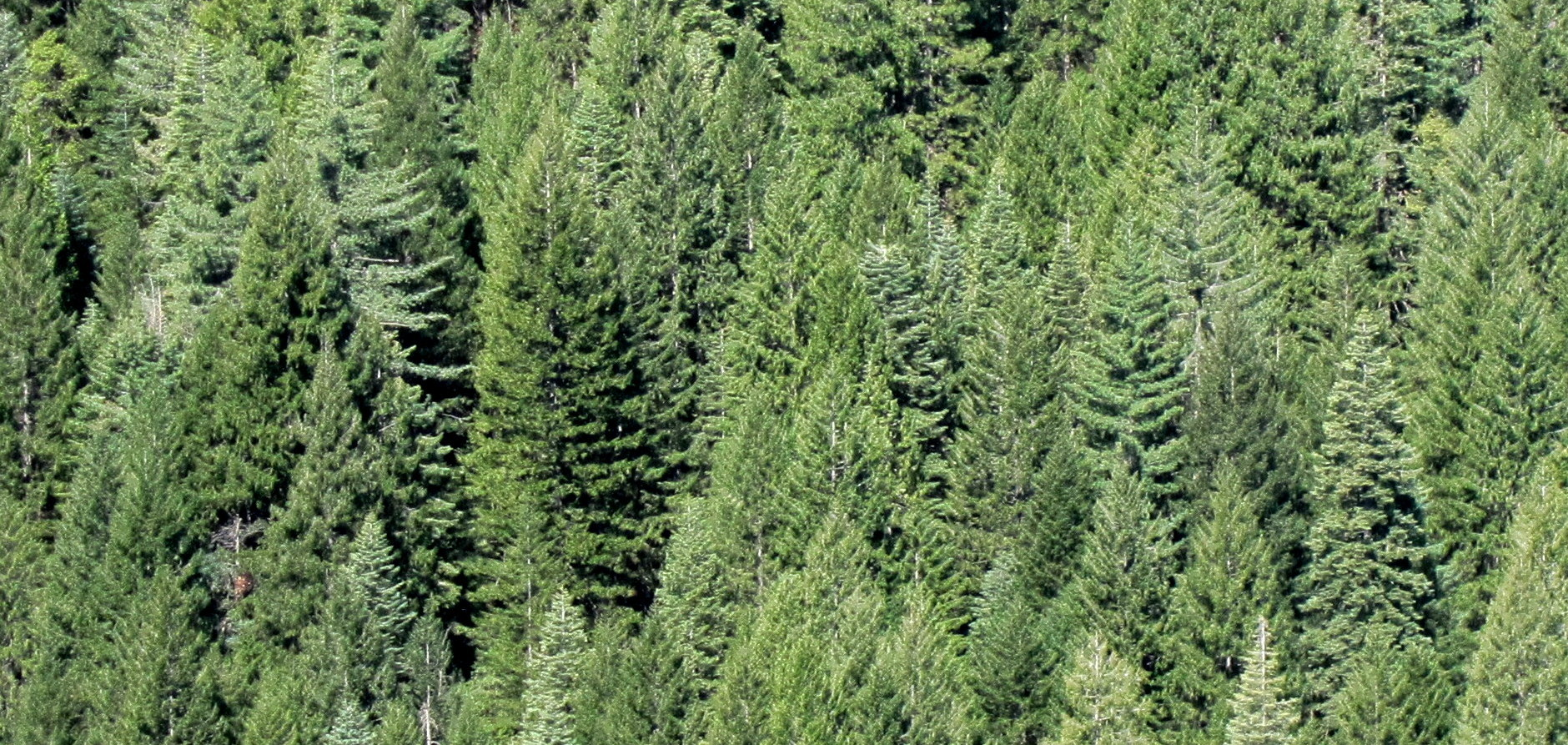 Blog Changing Forests Understanding And Responding To The Christmas Tree Light Wiring Diagram Caroldoey What Is Likelihood That Two Adjacent Trees Of Same Species Share A Parent Addressing This Question An Essential First Step In My Work